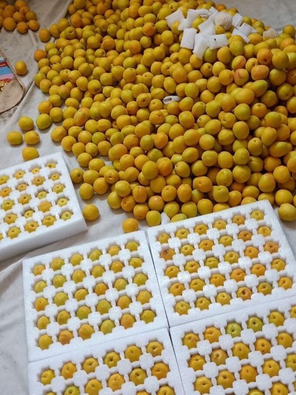 香蜜杏果实实拍