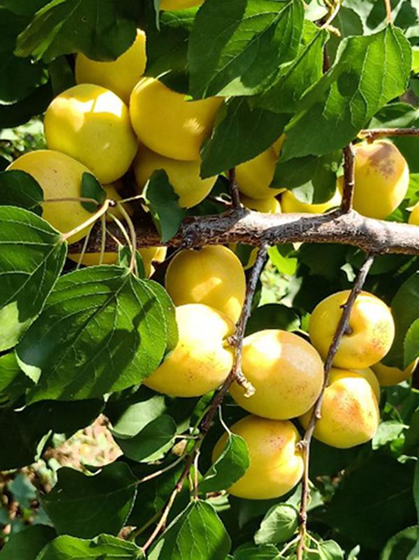 香蜜杏成长实拍