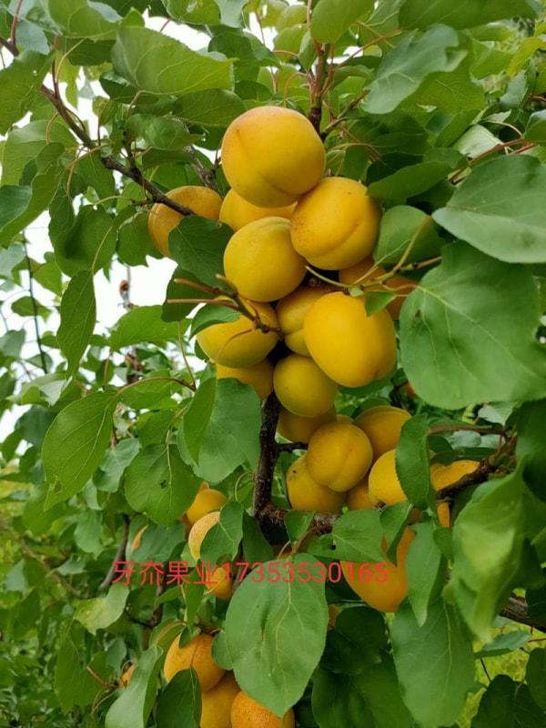 荷兰香蜜杏成长实拍