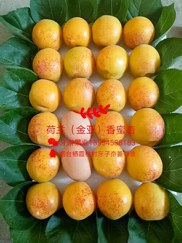 香蜜杏对比鸡蛋