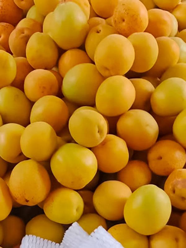 香蜜杏优质成果