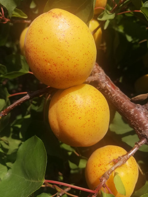 香蜜杏金黄果实