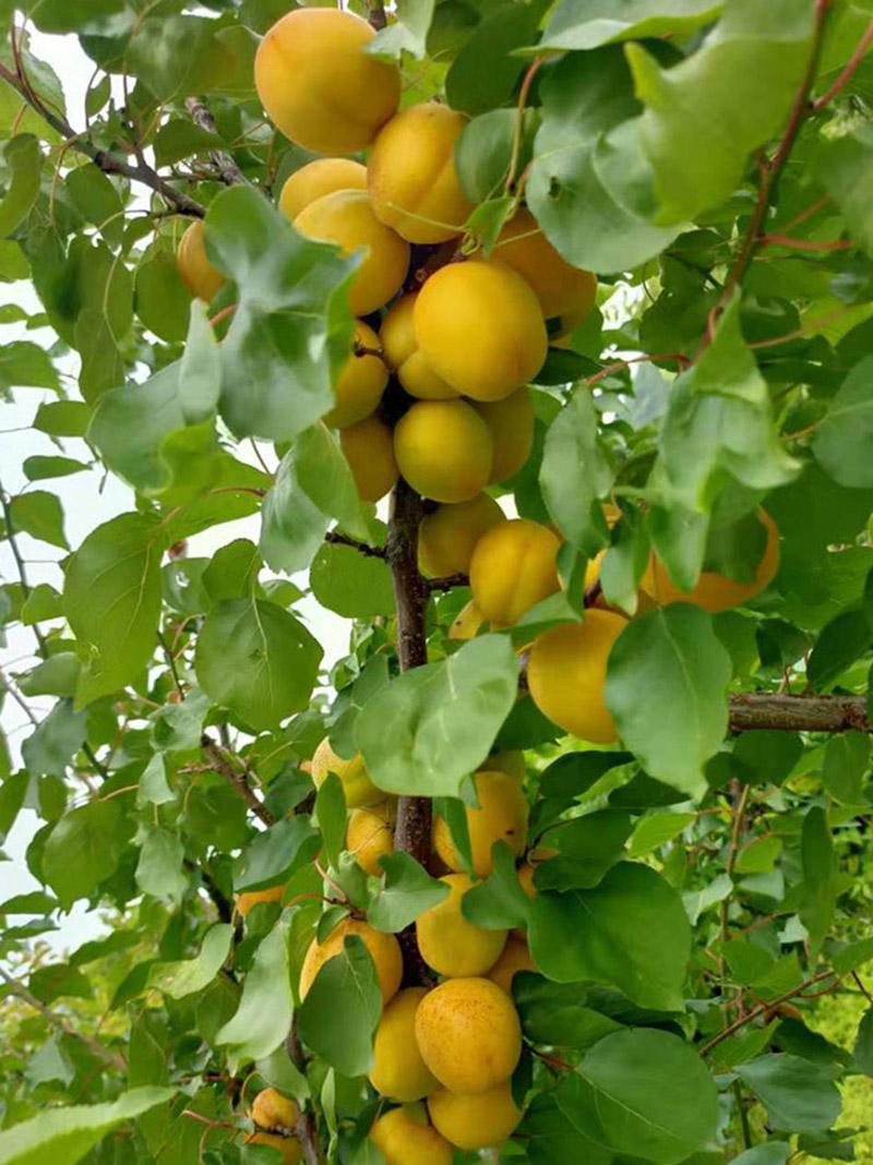 荷兰香杏苗