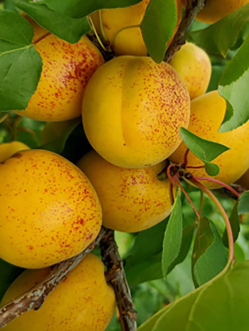 荷兰香蜜杏