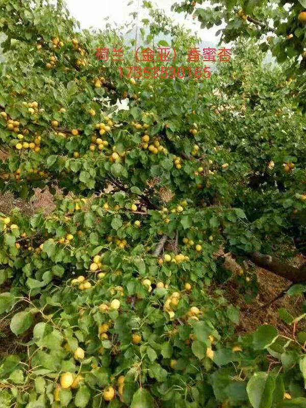 荷兰香杏树苗